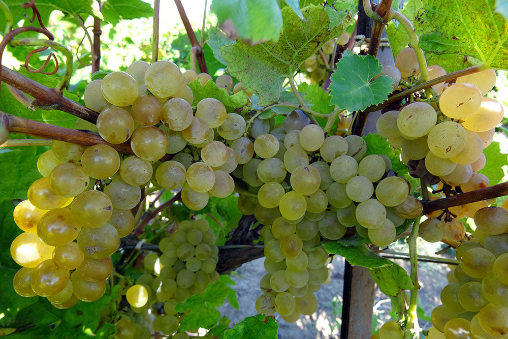 Виноград Кристалл: описание сорта, фото, отзывы