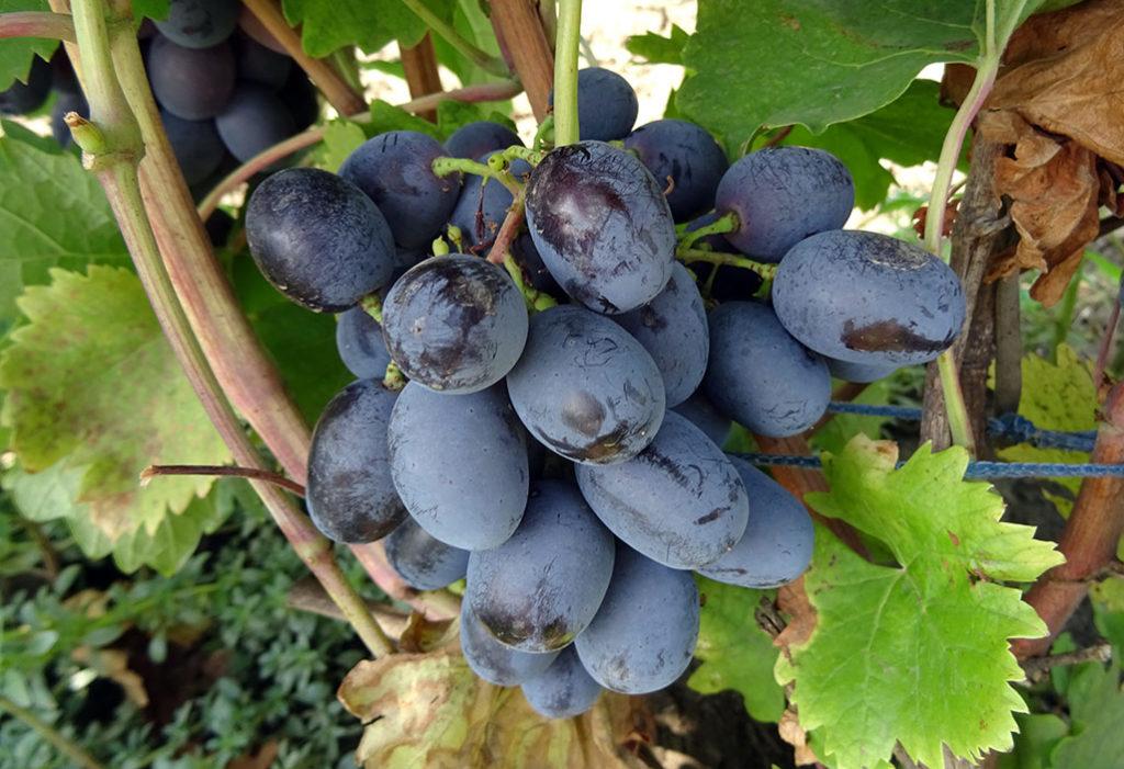 виноград ришелье описание сорта фото для посадки сирени