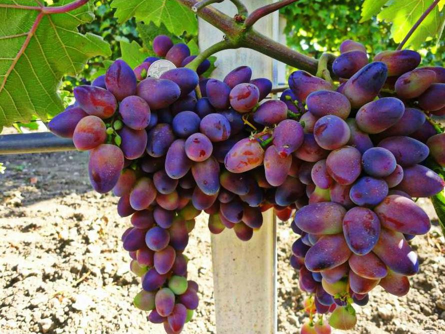 гурзуфе все сорта винограда с фото и описанием важных