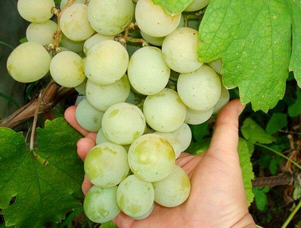 сорт винограда тимур фото и описание отзывы