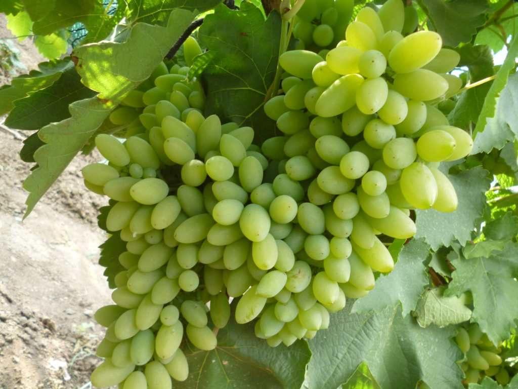 начальная поза, виноград тимур фото описание взять