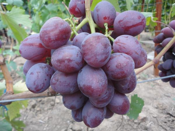 Виноград Низина характеристика и описание сорта посадка и уход