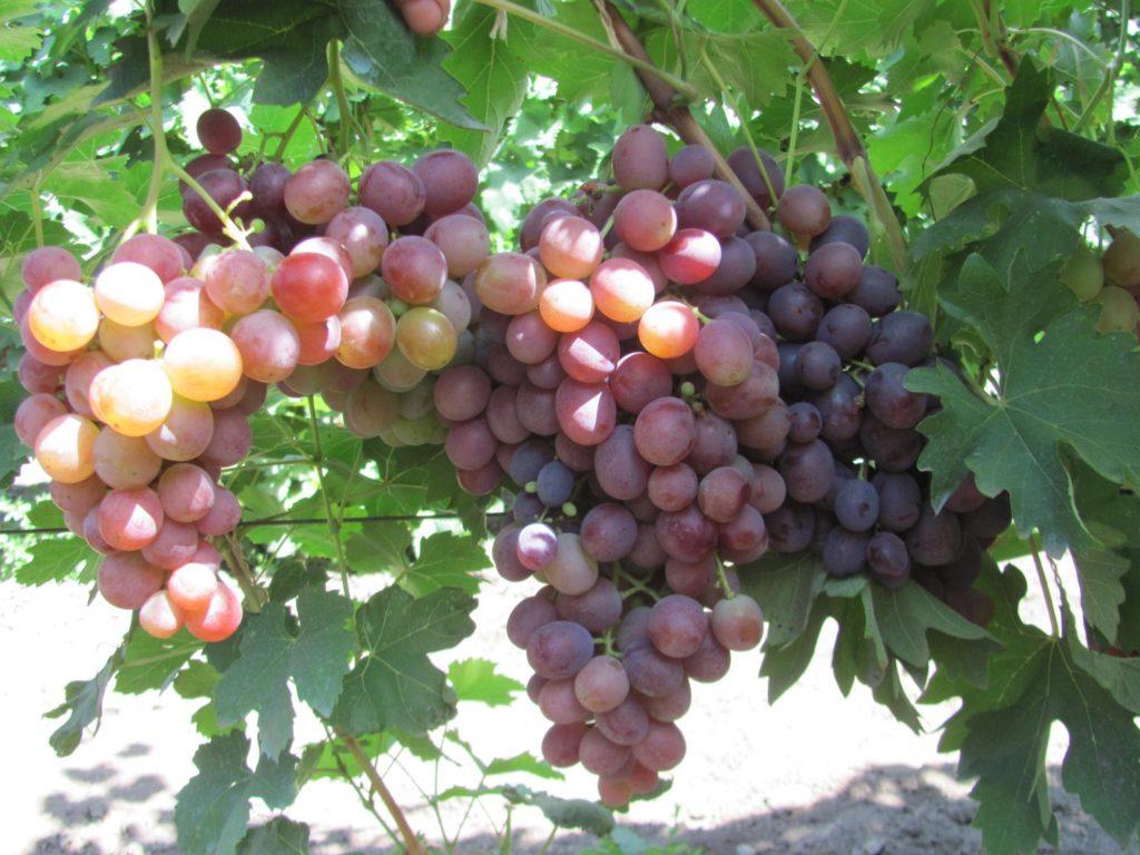 Полное описание сорта винограда низина